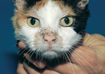 Лишай у кошки или котенка. Симптомы, разновидности, и чем лечить лишай в домашних условиях.